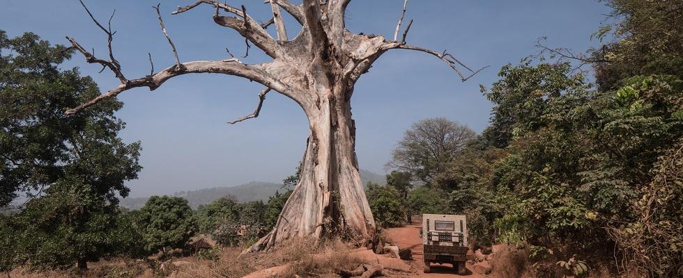 Guinea Tree
